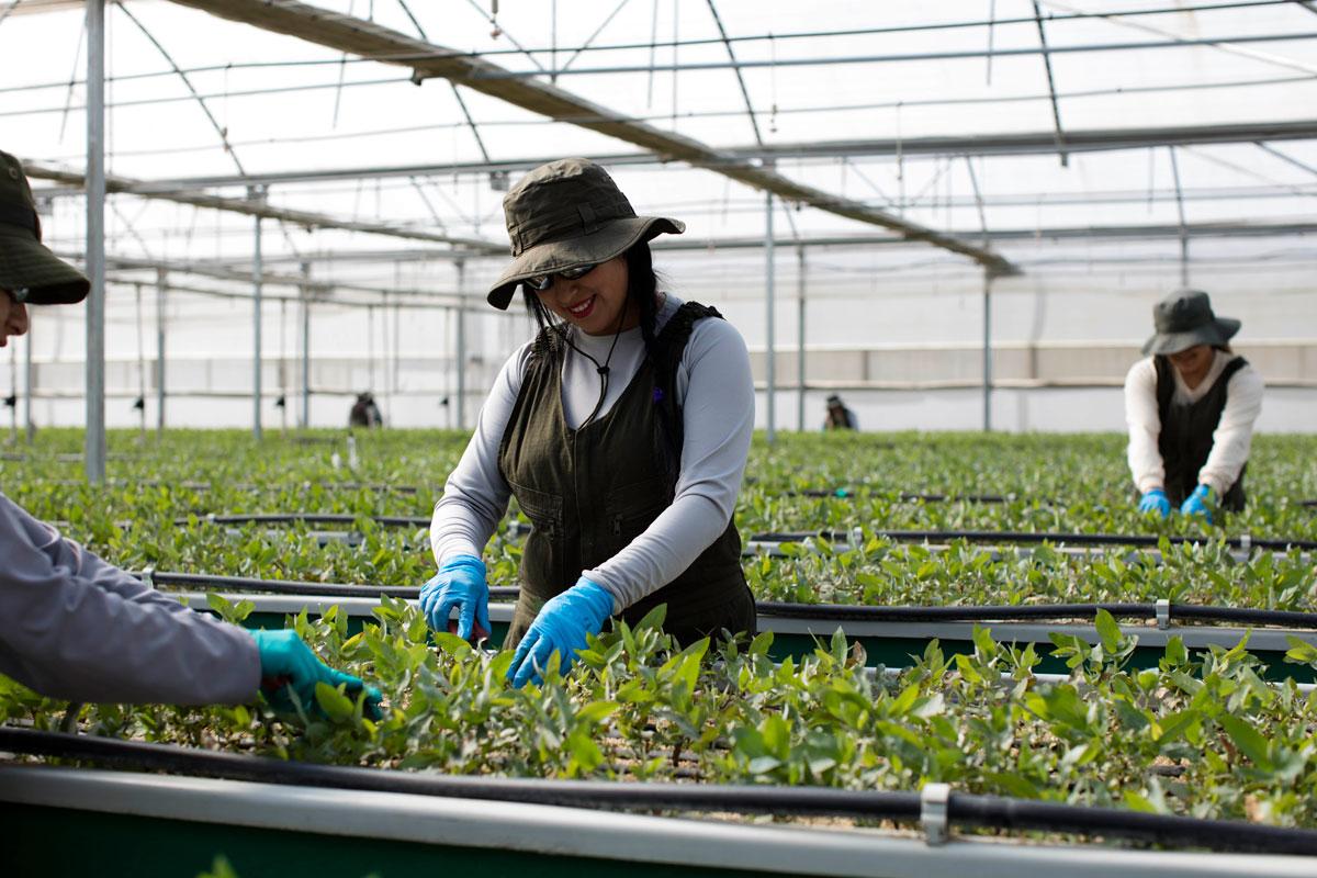 Cerca de 75 millones de plantas produce ARAUCO en sus tres viveros